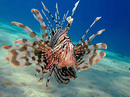 lionfish.2